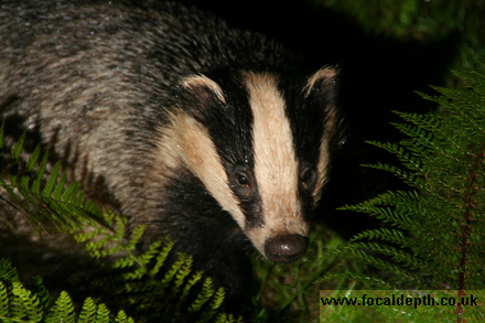 Wildlife - Europen Badger in ferns at night.