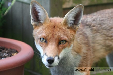 Wildlife - Red Fox