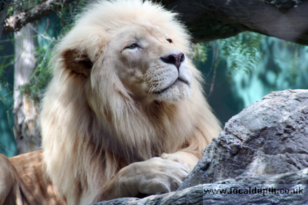 Wildlife - White Lion