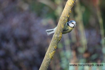 Wildlife - Blue Tit Woodland Bird hides behind branch