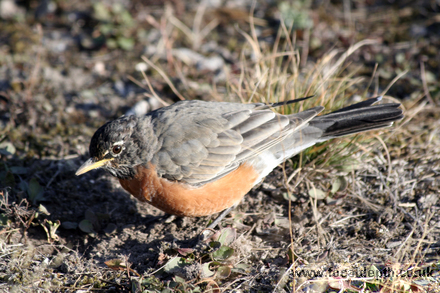 Wildlife - American Robin, Artists Paintpot Trail, Yellowstone National Park