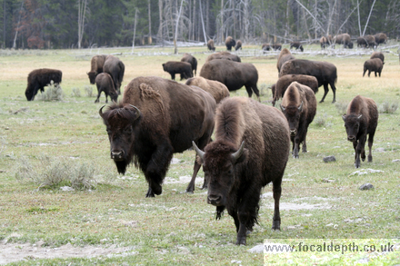 Wildlife - Herd of Bison in Yellowstone National Park