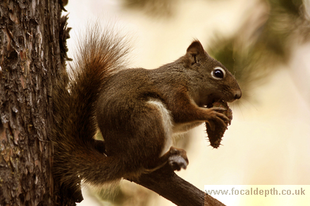 Wildlife - Squirrel eating pine cone, Uncle Tom's Trail, Yellowstone National Park