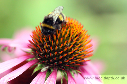 Flowers - Echinacea or Coneflower, with bee