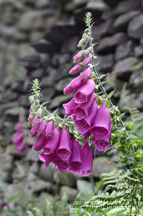 Flowers - Wild foxglove in the shelter of an old stone wall