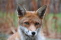 Wildlife - Red Fox stares at camera.
