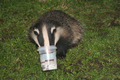 Wildlife - European Badger eating ice cream