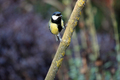 Wildlife - Great Tit Woodland Bird