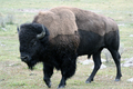 Wildlife - Bison, Yellowstone National Park